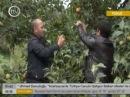 Tovuzda xurma yığımı başlanıldı Хурма Xurma Азеры фрукты Азербайджанские фрукты