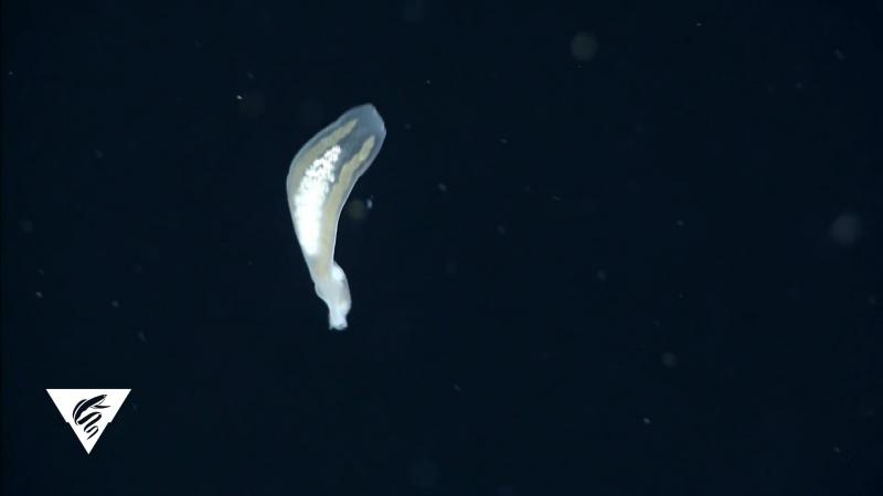 Необыкновенные голожаберные (ориг. An unusual midwater nudibranch)