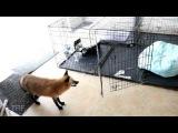 Mommy fox chasing a baby fox