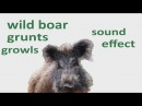 The Animal Sounds: Wild Boar  Grunts, Growls - Sound Effect - Animation