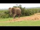 Elephant Kicks Tortoise Around Like A Football