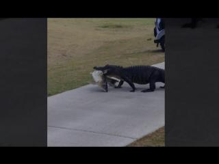 Аллигатор гуляет с огромной рыбой на поле для гольфа