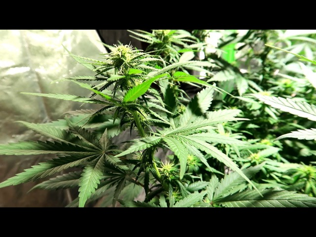 GROWING PURPLE URKLE, SUPER SWEET TOOTH, KOSHER TANGIE - INDOOR GARDENING 4X4 GROW TENT