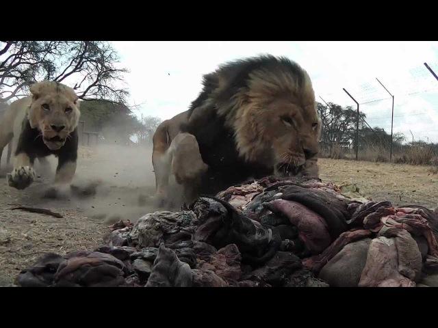 Lions Feeding - Antelope Park 1