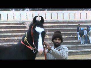 lohat baddi...........................{sirsa wala }........stallion