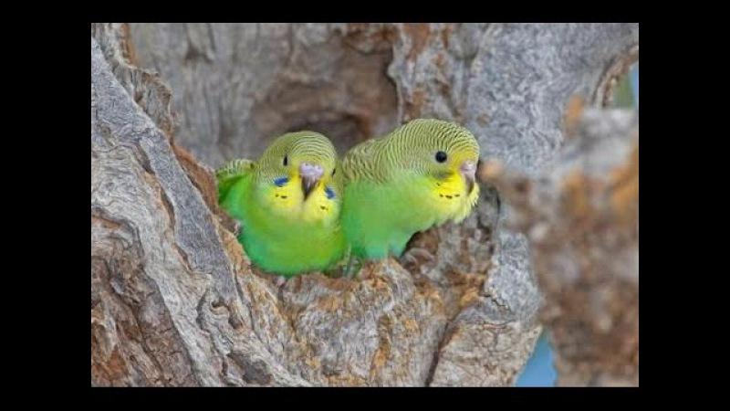 Семейство волнистых попугаев. Документальный фильм. » Freewka.com - Смотреть онлайн в хорощем качестве