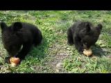 Балу, Топтыжка и Белла  в Приморском Сафари-парке 12 мая 2017 г.
