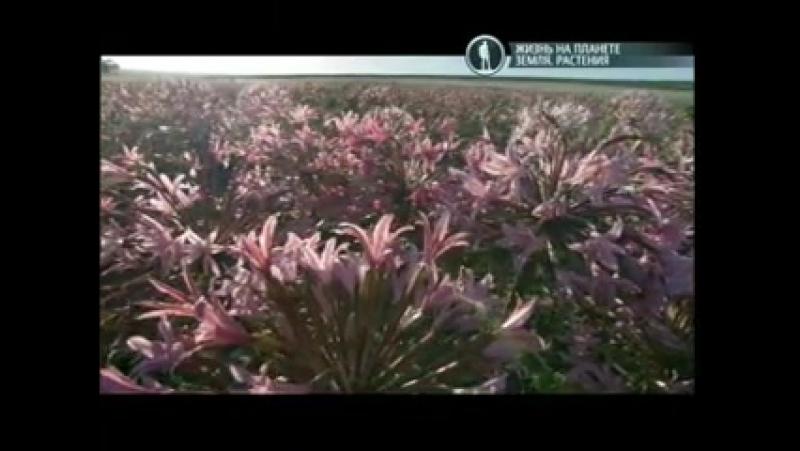 BBC Жизнь на планете Земля. Растения