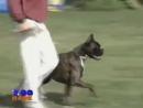 Собака боксер – ваш телохранитель собаки породы собак dogs немецкий_боксер