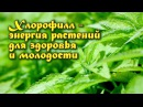 ХЛОРОФИЛЛ - энергия растений для здоровья и молодости
