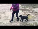 Николь - продается щенок лабрадора ретривера! Посмотрите видео! Она уже плавает
