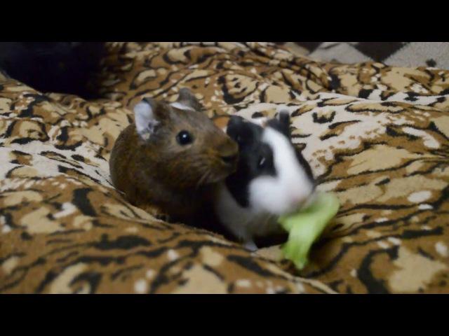 Морские свинки и лист салата