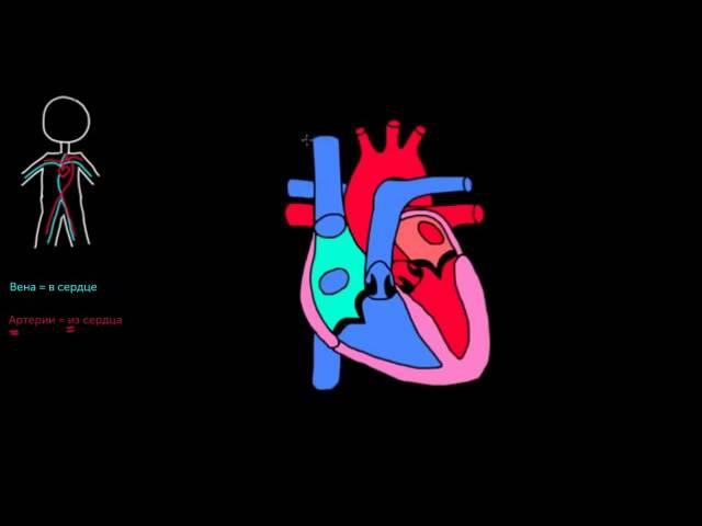 Непрерывный поток через сердце