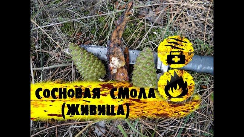 Выживание в лесуСосновая смола (Живица)/ Pine resin ( galipot )/using