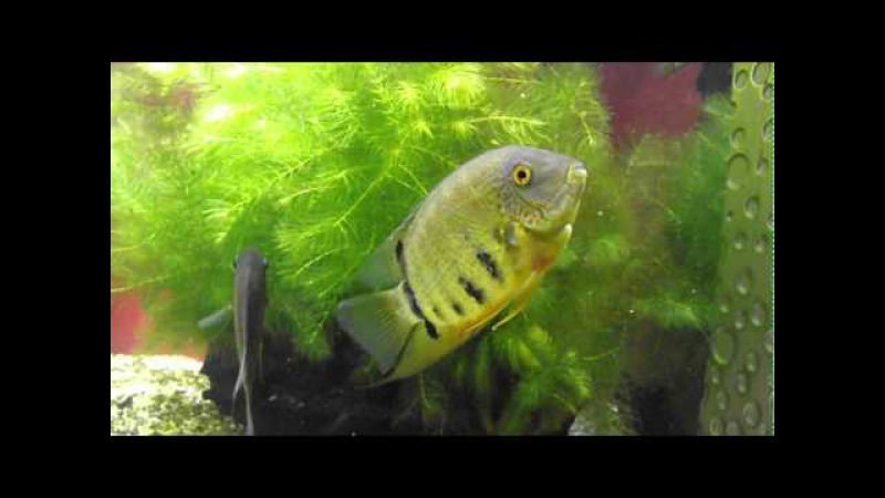 Аквариумная рыбка, Цихлазома северум или дискус ложный, Cichlasoma severum