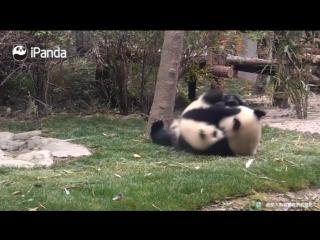 Панды дерутся