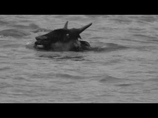 Крокодил топит молодую антилопу гну (Crocodile drowns young wildebeest)