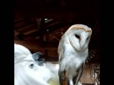 A noisy umbrella cockatoo with a quiet barn owl