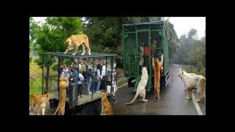 Giật mình du khách đùa giỡn với chúa sơn lâm trong lồng sắt - Animals attack Zoo