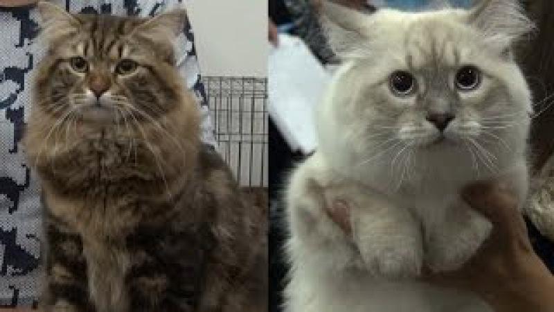 СИБИРСКИЕ КОШКИ -ГОРДОСТЬ РОССИИ! / SIBERIAN CATS AS A PRIDE OF RUSSIA - CatsDogsTV, Mirkoshek