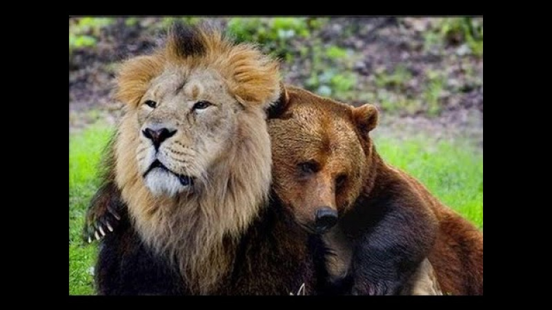 Unbelievable Unlikely Animal Friendships Compilation 2017