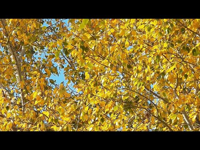 Доброе утро Золотая осень Белая берёзка под моим окном