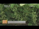 Соя ''Дадоу'', или ''Чжунго Хуанцзинь Чжэньчжу'', дословно ''Золотой жемчуг Китая'' - технология выращивания растения с 5000-лет