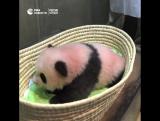 Панде из токийского зоопарка дали имя