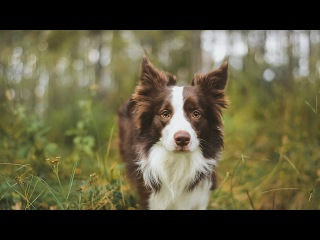 Vic border collie - Autumn