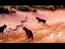 5 dogs attack a King cobra - dog vs cobra - dog kills snake Wild Nature