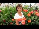 Прекрасные устойчивые розы для средней полосы Часть 1