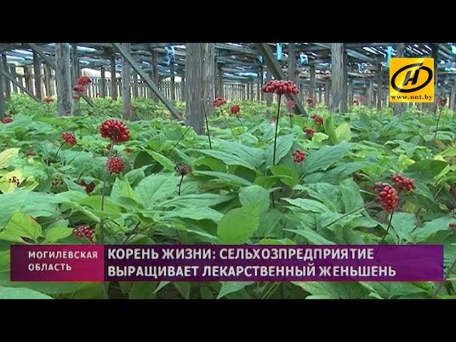 В хозяйстве под Могилёвом выращивают женьшень