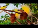 BEAUTIFUL BIRDS OF PARADISE | National Geographic - Nature Documentary