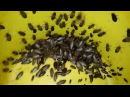 Мраморные тараканы nauphoeta cinerea. Lobster cockroaches. 24.11.2016