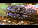Бои животных. Аризонский ядозуб