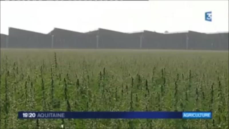 France Le chanvre, une plante davenir pour les agriculteurs du sud-ouest