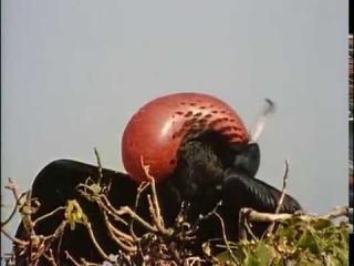 Жак-Ив Кусто - Морские птицы острова Изабелла (1976) Подводная одиссея команды Кусто