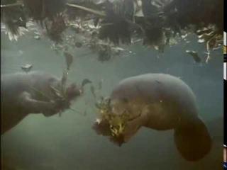 Жак-Ив Кусто - Последние сирены (1971) Подводная одиссея команды Кусто