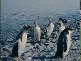 Жак-Ив Кусто - Кусто в Антарктике Часть II Полет пингвинов (1974) Подводная одиссея ...