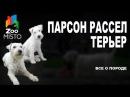 Парсон Рассел Терьер - Все о породе собаки | Собака породы - Парсон Рассел Терьер