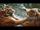 Бойцовский клуб для животных Мархуры гризли лангуры