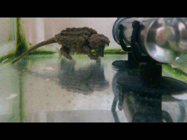 Как охотятся черепахи, грифовая черепаха охотится на рыбу