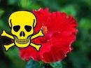Почему ГИБИСКУС называют ЦВЕТКОМ СМЕРТИ? Можно ли держать китайскую розу в доме .