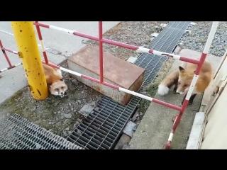 Узнал, как лисы разговаривают