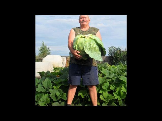 Как я выращиваю белокочанную капусту