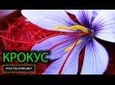Цветок крокус / Шафран