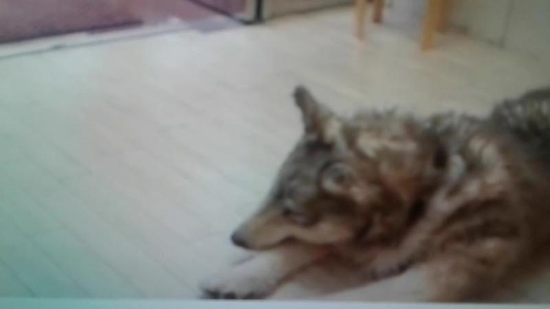оживший ковер волк в магозине фурри