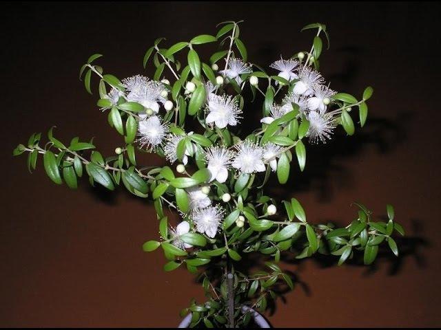 Мирт обыкновенный - myrtus