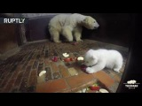 Table etiquette Polar bear mother set some ground rules for charming bear cub