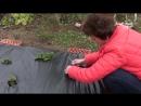 Как бороться с сорняками Земляника на черной пленке